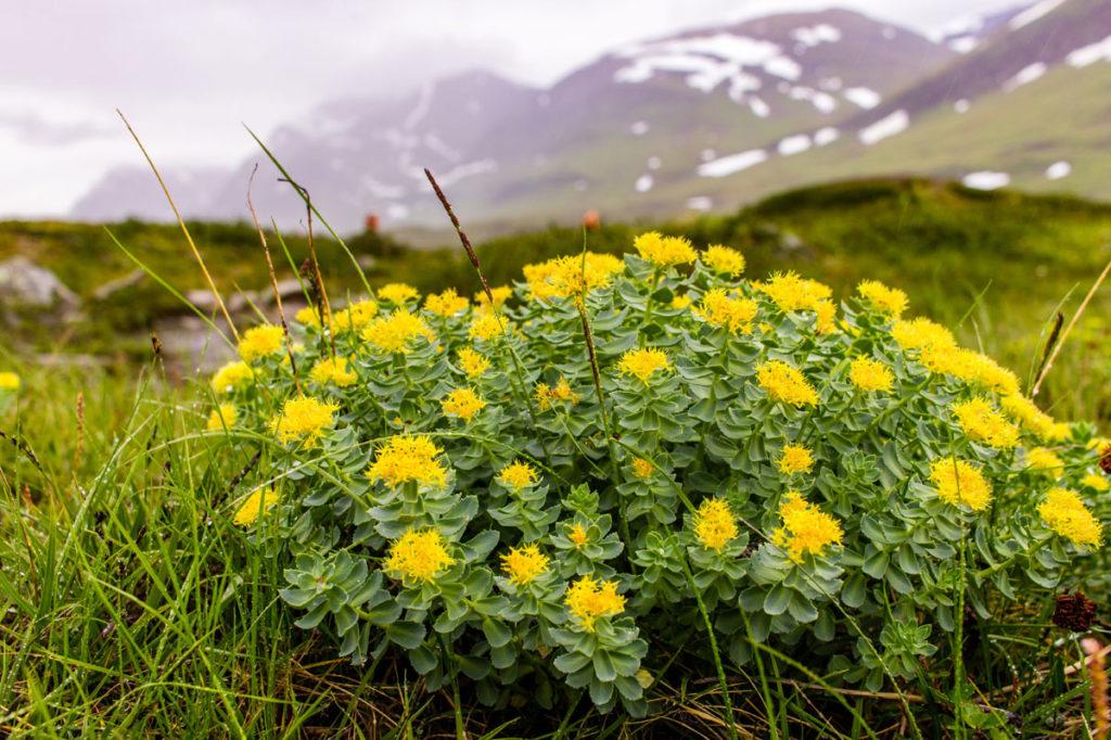 Rhodiola rosea: Les avis sur cette plante antistress
