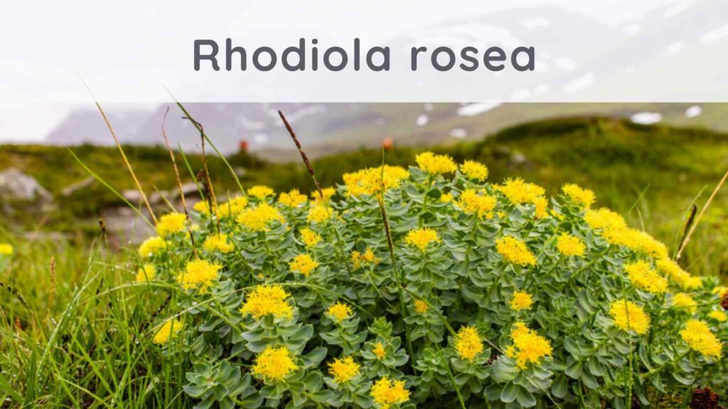 Rhodiola rosea : Reviews on this anti-stress plant